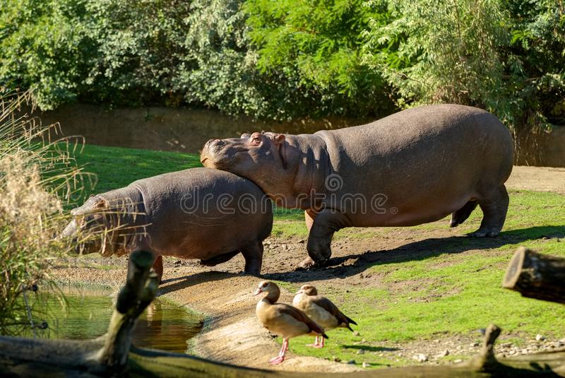 two wild african hippopotamuses one keeps his head on the back of another. good friend support. Funny animals. Small little hippop royalty free stock images