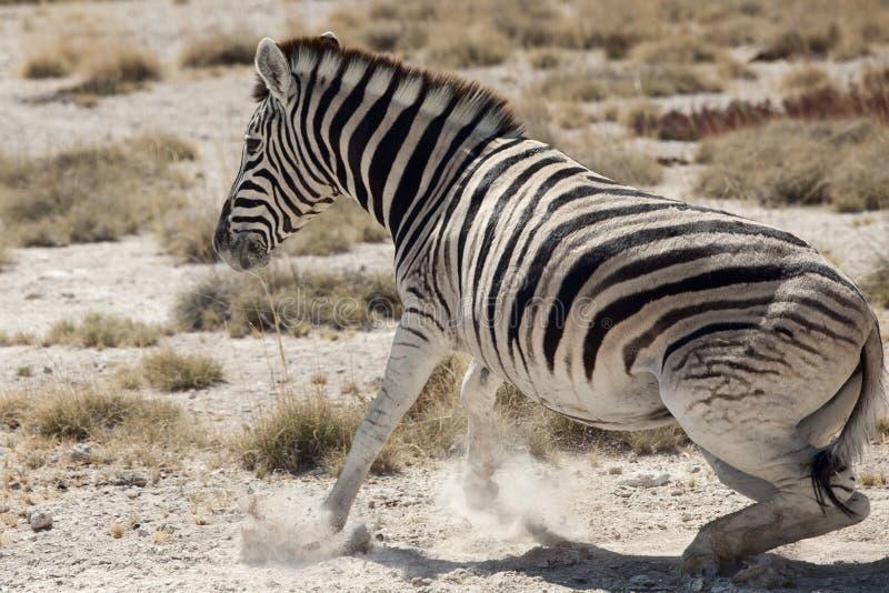 Download Little Zebra Portrait Namibia Stock Photo - Image of equus, calf: 24081704
