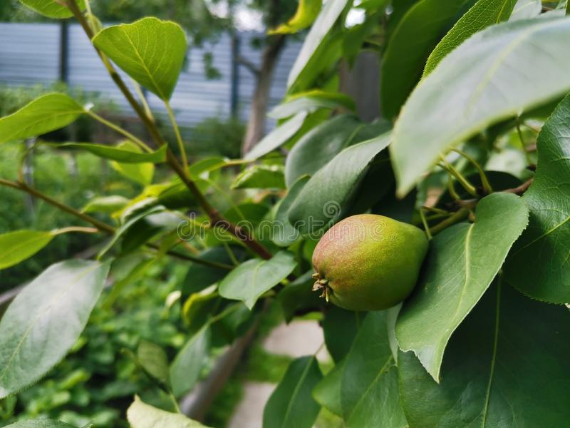 Unripe pear royalty free stock image