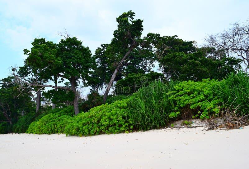 Littoral las, Wysocy Denni Mohua drzewa i Nabrzeżna plantacja na Białej Piaskowatej plaży, - Laxmanpur, Neil wyspa, Andaman, Indi obrazy stock