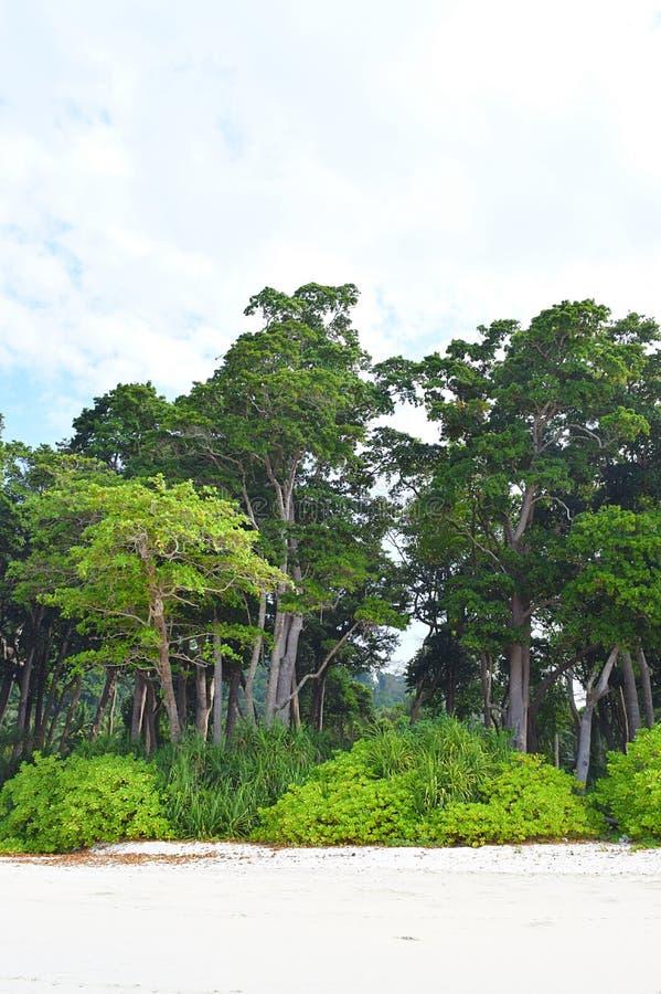 Littoral las z Dennymi Mahua drzewami i bujny Zielonymi Nabrzeżnymi roślinami przy plażą, Andaman wyspy, India obrazy stock