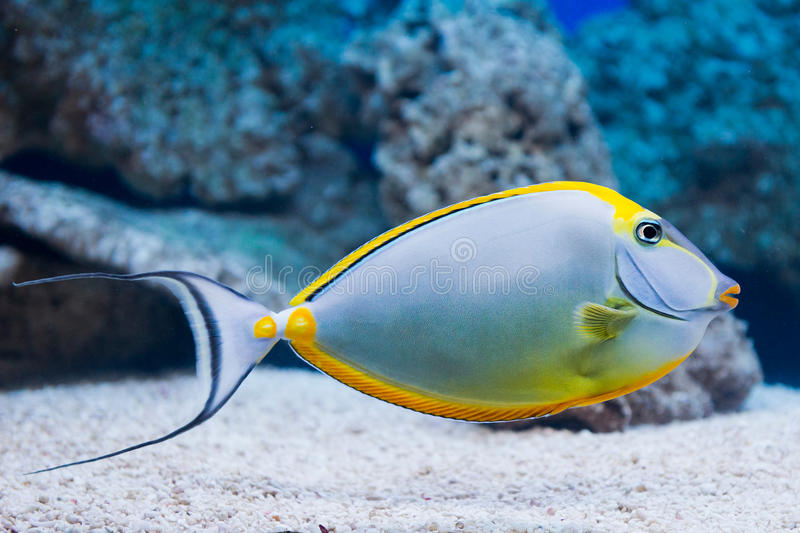 Lituratus de Naso - unicornfish do barcheek imagem de stock