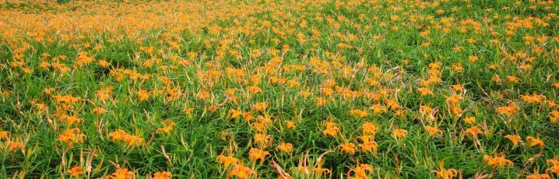 Liushidan山六十岩石山的美丽的橙色黄花菜花农场与天空蔚蓝和云彩在台湾花莲富里乡, 免版税库存图片