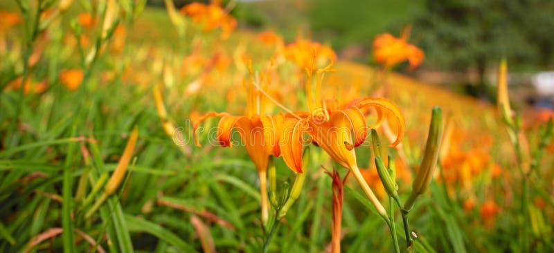Liushidan山六十岩石山的美丽的橙色黄花菜花农场与天空蔚蓝和云彩在台湾花莲富里乡, 免版税图库摄影