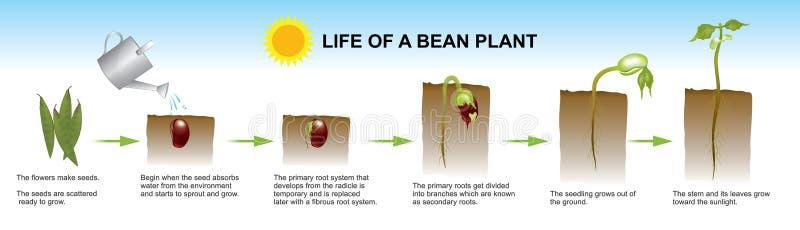 Liv av en bönaväxt Informationsdiagram om utbildning royaltyfri illustrationer