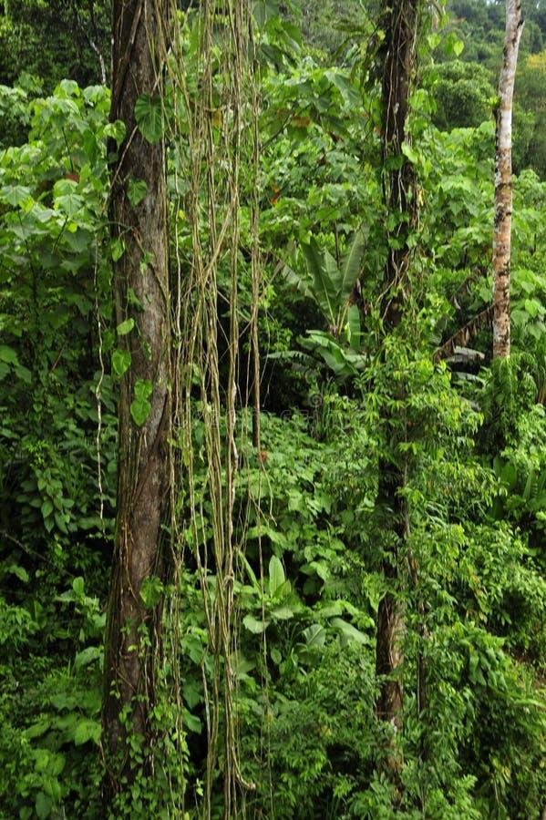 Liv för den frodiga tropiska växten omger den fotvandra slingan för rainforesten på Trimbina den biologiska reserven royaltyfri fotografi