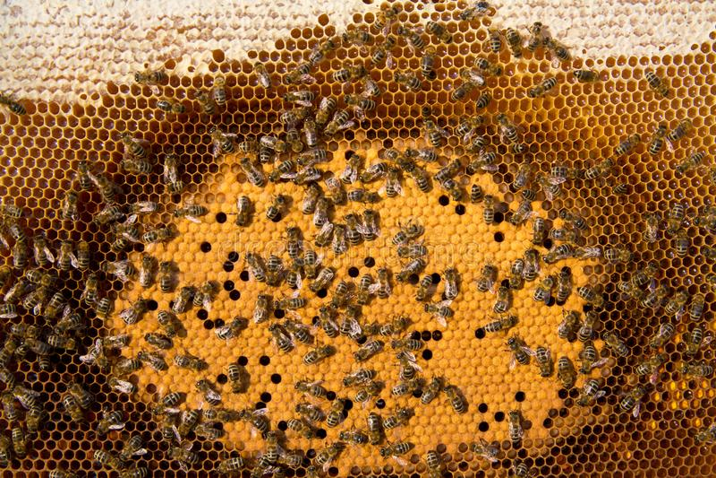 Liv och reproduktion av bin arkivbilder