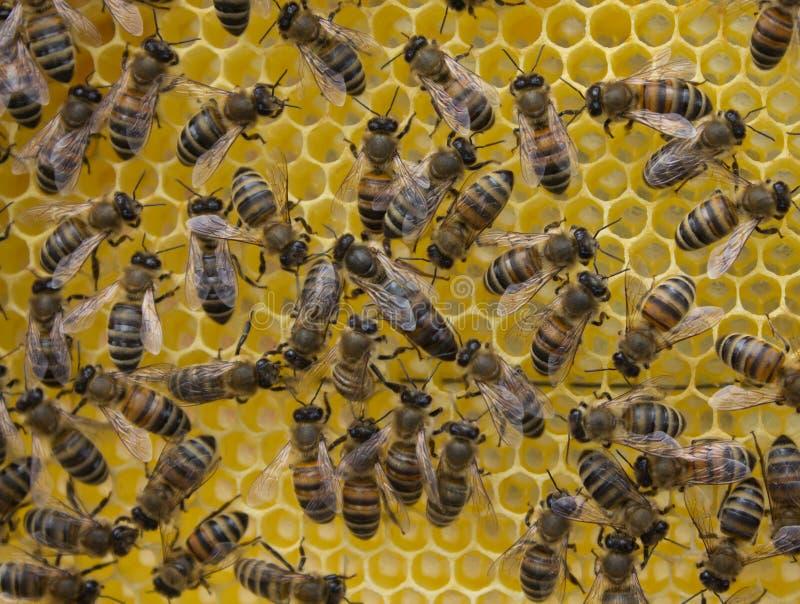 Liv och reproduktion av bin Drottningbi och bin royaltyfri foto