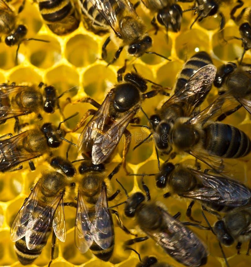 Liv och reproduktion av bin Drottningbiet lägger ägg i honeycoen arkivbild