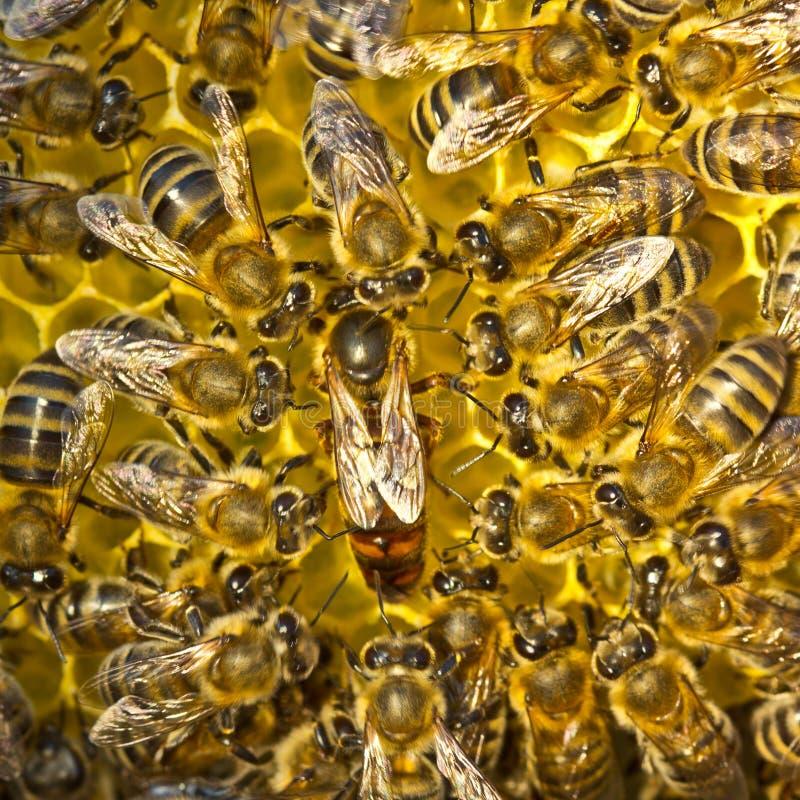 Liv och reproduktion av bin Drottningbiet lägger ägg i honeycoen arkivbilder