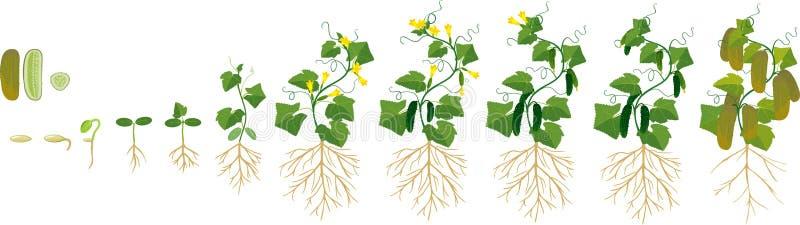 Livcirkulering av gurkaväxten Etapper av tillväxt från kärnar ur till den vuxna växten med frukter vektor illustrationer