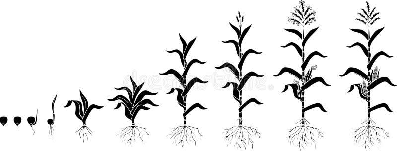 Livcirkulering av havremajsv?xten Tillväxtetapper från kärnar ur till den bära frukt växten som isoleras på vit bakgrund stock illustrationer