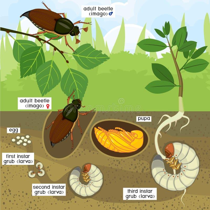 Livcirkulering av ollonborren Följd av etapper av utveckling av ollonborreMelolonthamelolonthaen från ägget till den vuxna skalba stock illustrationer