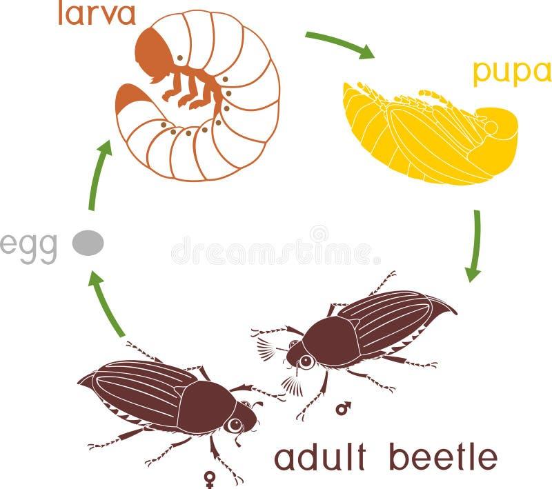 Livcirkulering av ollonborren Följd av etapper av utveckling av ollonborreMelolonthasp från ägget till den vuxna skalbaggen royaltyfri illustrationer