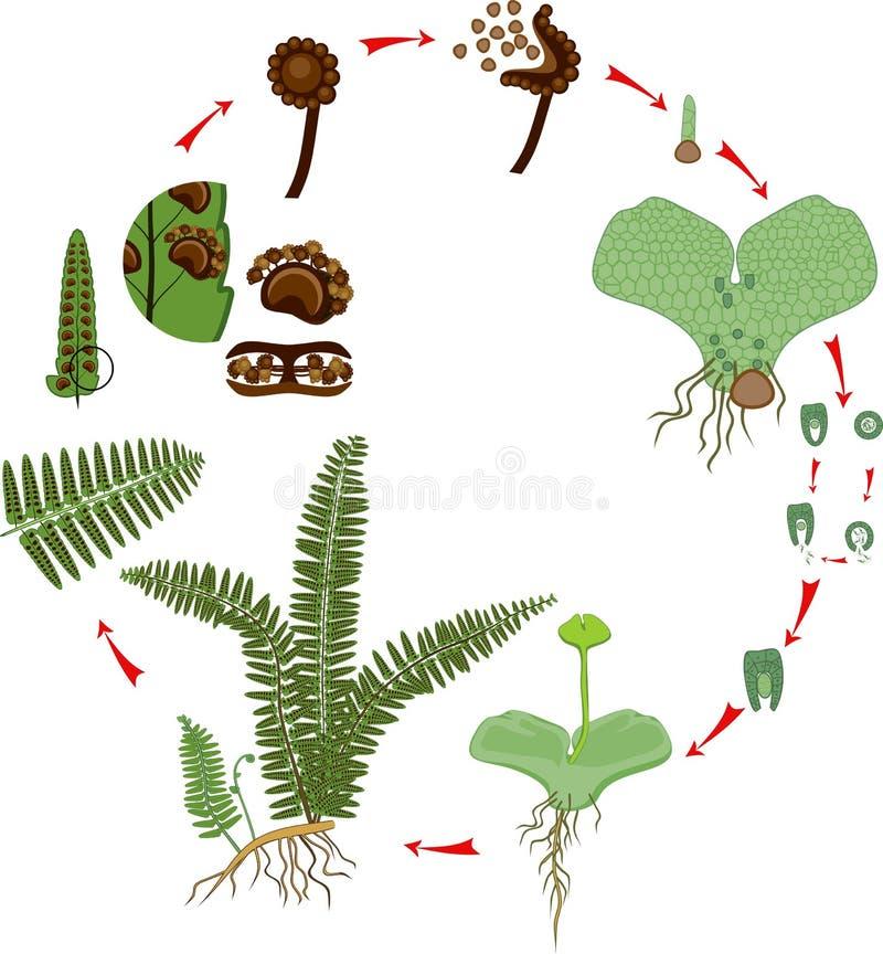 Livcirkulering av ormbunken Växtlivcirkulering med alternation av diploida sporophytic och haploid gametophytic faser vektor illustrationer