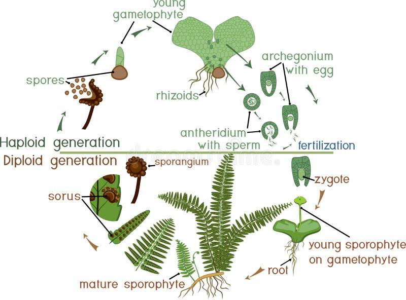 Livcirkulering av ormbunken Växtlivcirkulering med alternation av diploida sporophytic och haploid gametophytic faser stock illustrationer