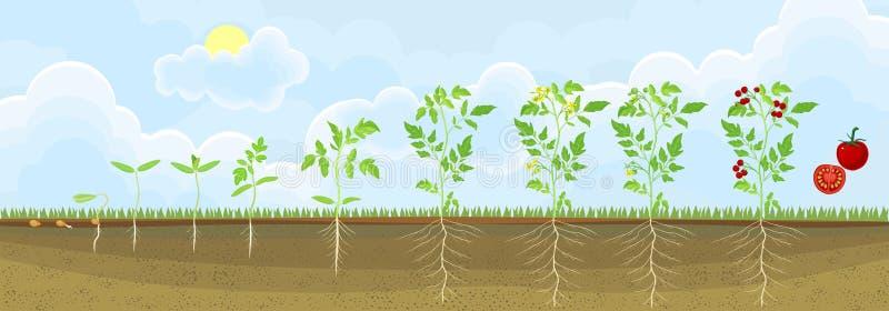 Livcirkulering av tomatväxten Etapper av tillväxt från kärnar ur till den vuxna växten med frukter vektor illustrationer