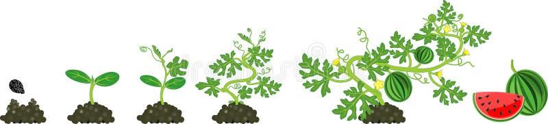 Livcirkulering av vattenmelonväxten Etapper av vattenmelontillväxt från kärnar ur för att skörda vektor illustrationer