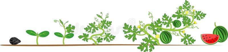 Livcirkulering av vattenmelonväxten Etapper av vattenmelontillväxt från kärnar ur för att skörda stock illustrationer