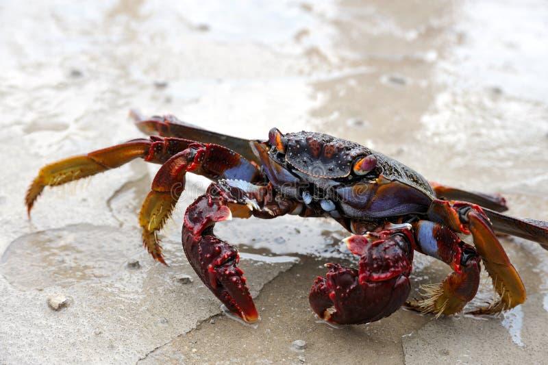 live övre för tät krabba fotografering för bildbyråer