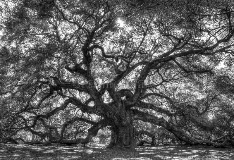 Live Angle Oak Tree immagini stock libere da diritti