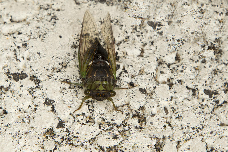 Live Annual Cicada (Dog-Day) on White Pavement royalty free stock photo