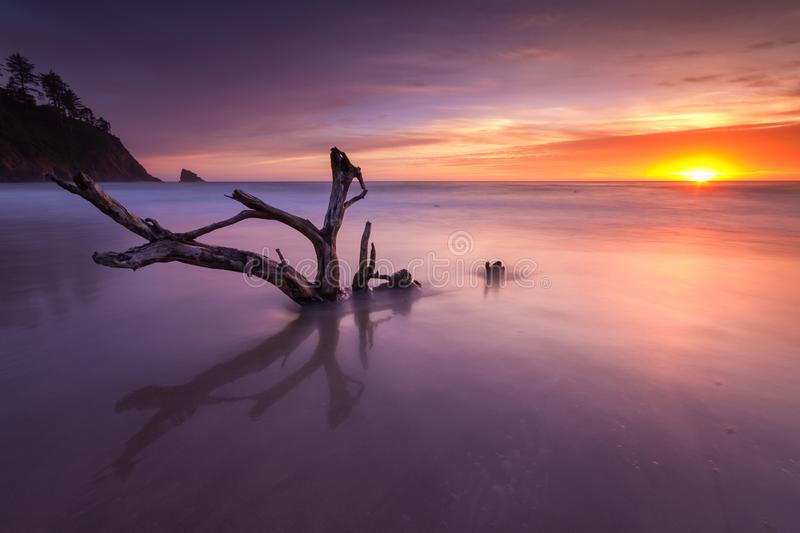 Live on this beach, die on this beach. This is a long exposure of a dead tree with Oregon coast sunset stock photos