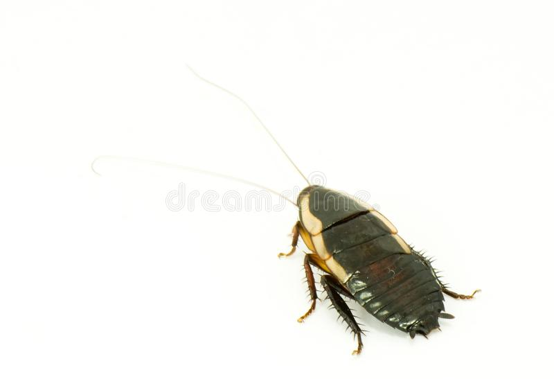Live big cockroach stock photography