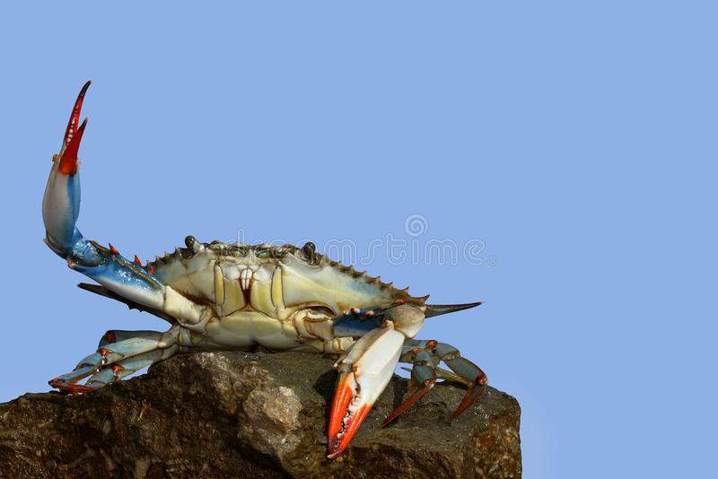 Live blue crab in a fight pose on the rock royalty free stock photo