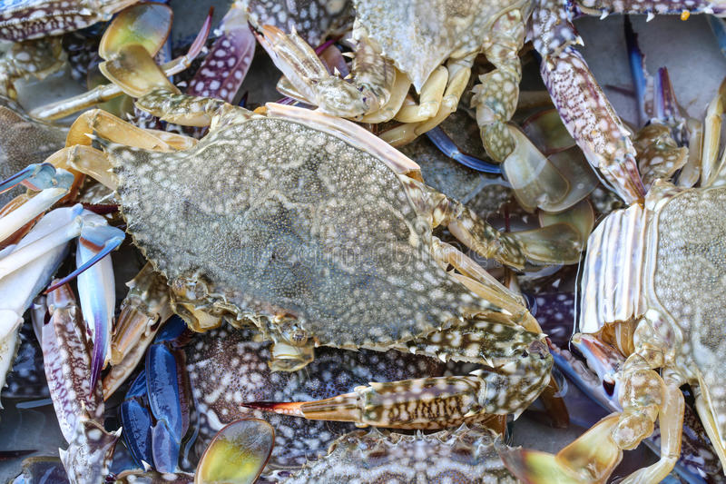 Live blue crabs stock photo