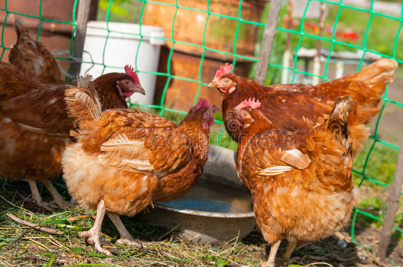 Live brown chicken royalty free stock images
