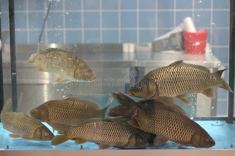 Live carp fish in aquarium in store for sale.  royalty free stock photography
