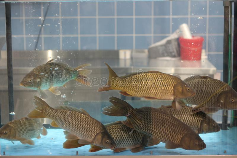 Live carp fish in aquarium in store for sale.  royalty free stock images