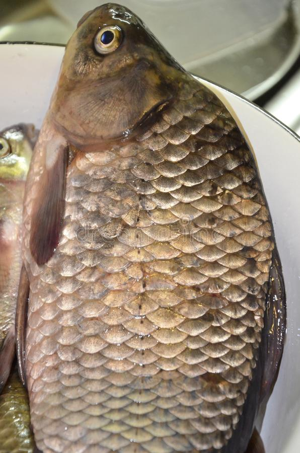Live carp lying on a plate with shiny scales and bright eyes royalty free stock photography