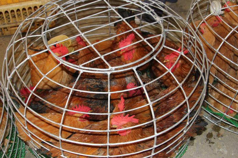 Live chickens can transfer Sars virus and H7N9, H5N8 and H5N1 viruses in China, Asia, Europe and the USA. Live chickens can tranfer an outbreak of Sars, bird flu royalty free stock image