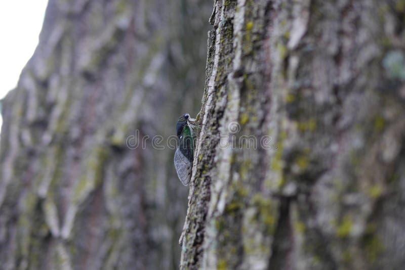 Live Cicada Climbing ett mossigt träd royaltyfri bild