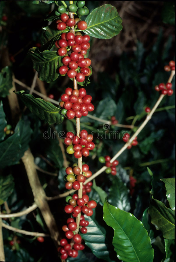 Live coffee beans tall royalty free stock image