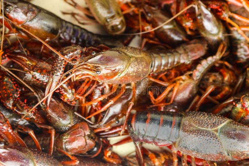 Live crawfish or crayfish or crawdad in a pile ready to be cooked at a crawfish boil. A Live crawfish or crayfish or crawdad in a pile ready to be cooked at a stock photos