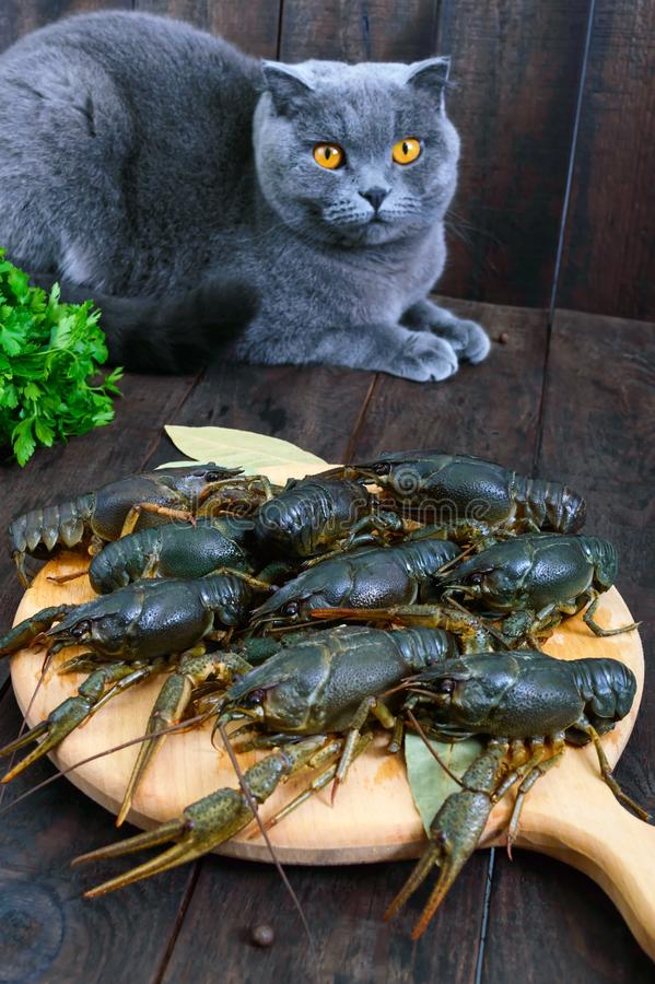 Live crawfish on a wooden tray in the foreground. The gray cat looks closely. Selective focus stock photography