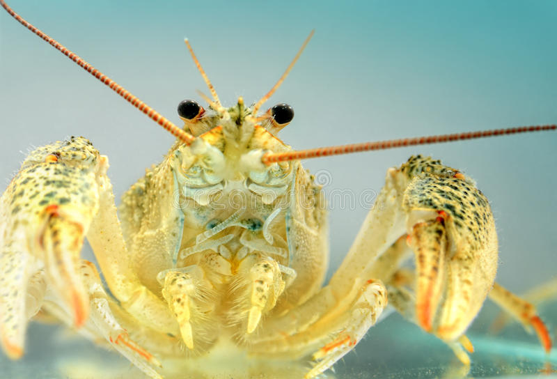 Live crayfish in the water close up. Freshwater crustaceans.  stock photo