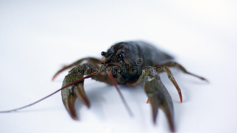 Live crayfish on a white background close-up.  stock images