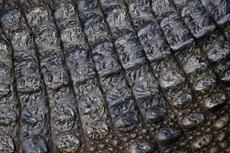 Live crocodile's skin stock image
