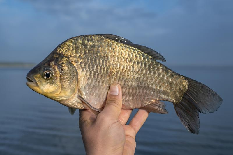 Live crucian carp fish in fisherman hand on lake background royalty free stock photos