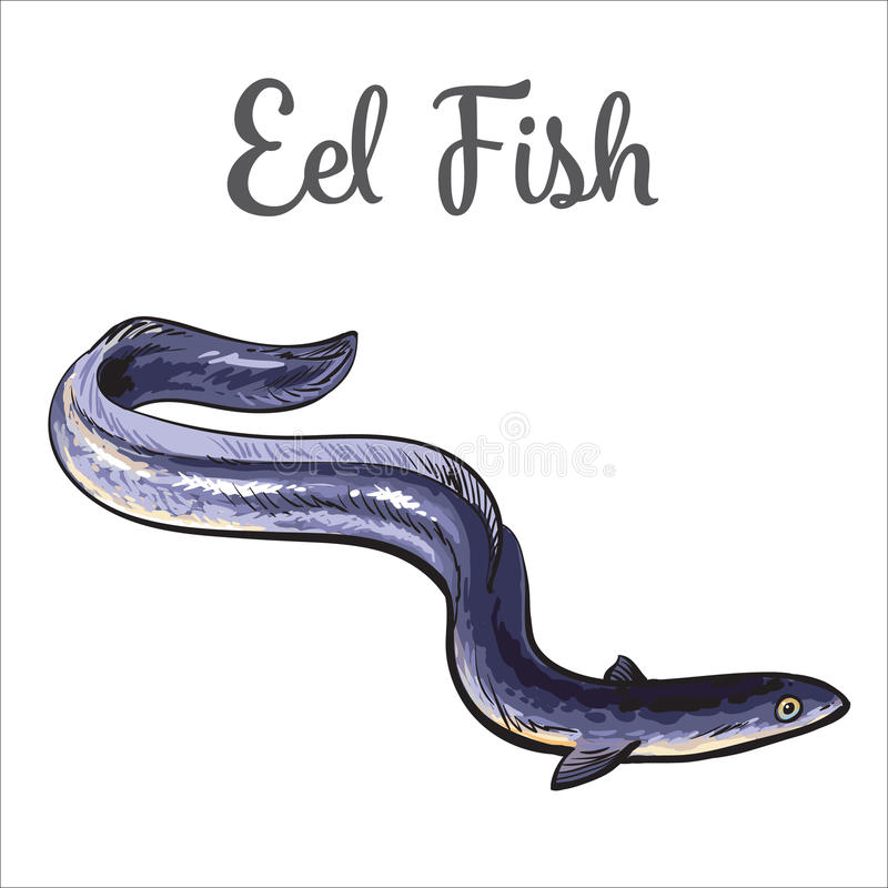 Live eel fish isolated on white background. Live eel fish, sketch style vector illustration isolated on white background. Drawing of eel fish as luxury seafood vector illustration