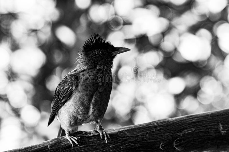 Live feathers in black and white stock photo