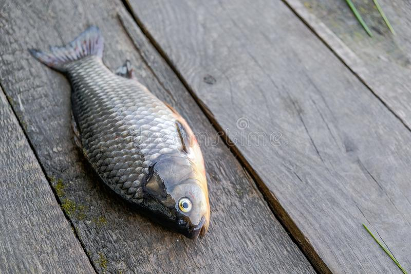 Live fish have just been caught from a river. The fish lies against a background of aged gray planks royalty free stock images