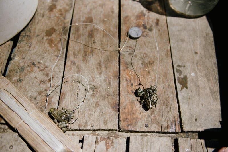 Live Frog, dat op een grote visserijhaak wordt gespietst royalty-vrije stock foto's