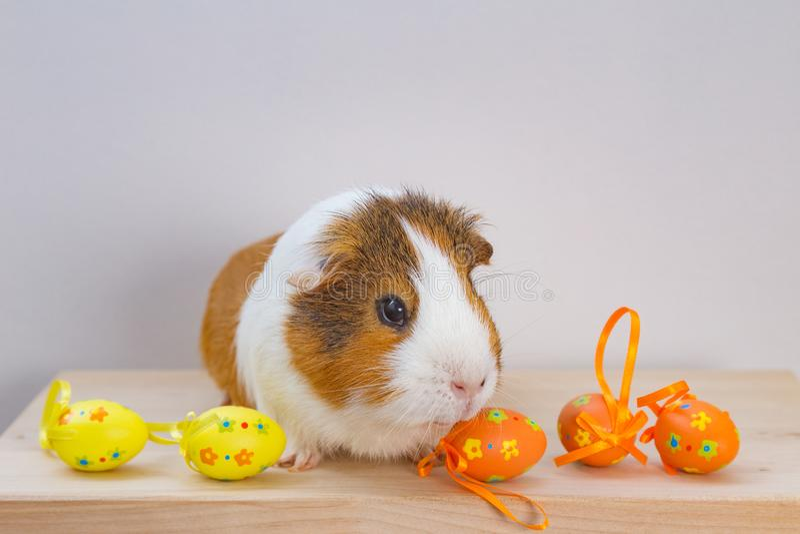 Live Guinea Pig med påskägg royaltyfria bilder