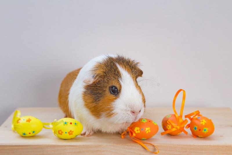 Live Guinea Pig mit Ostereiern lizenzfreie stockbilder