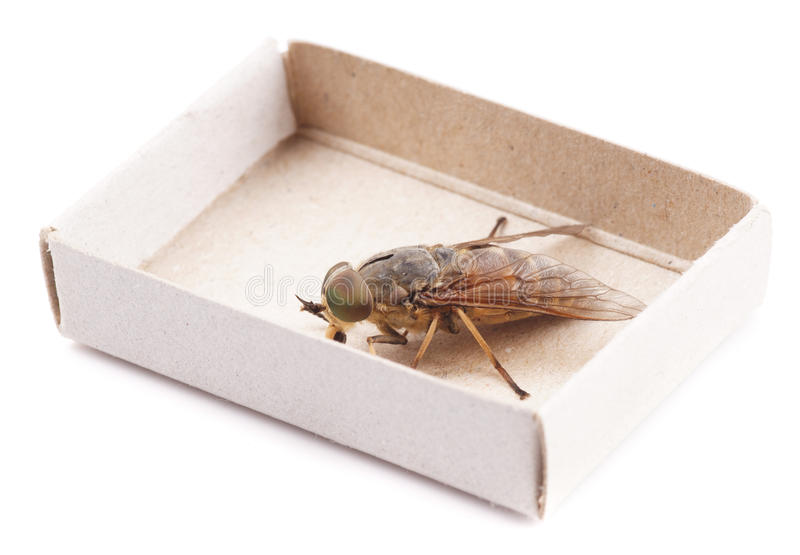 Live horsefly sitting in matchbox isolated. On white background royalty free stock photography